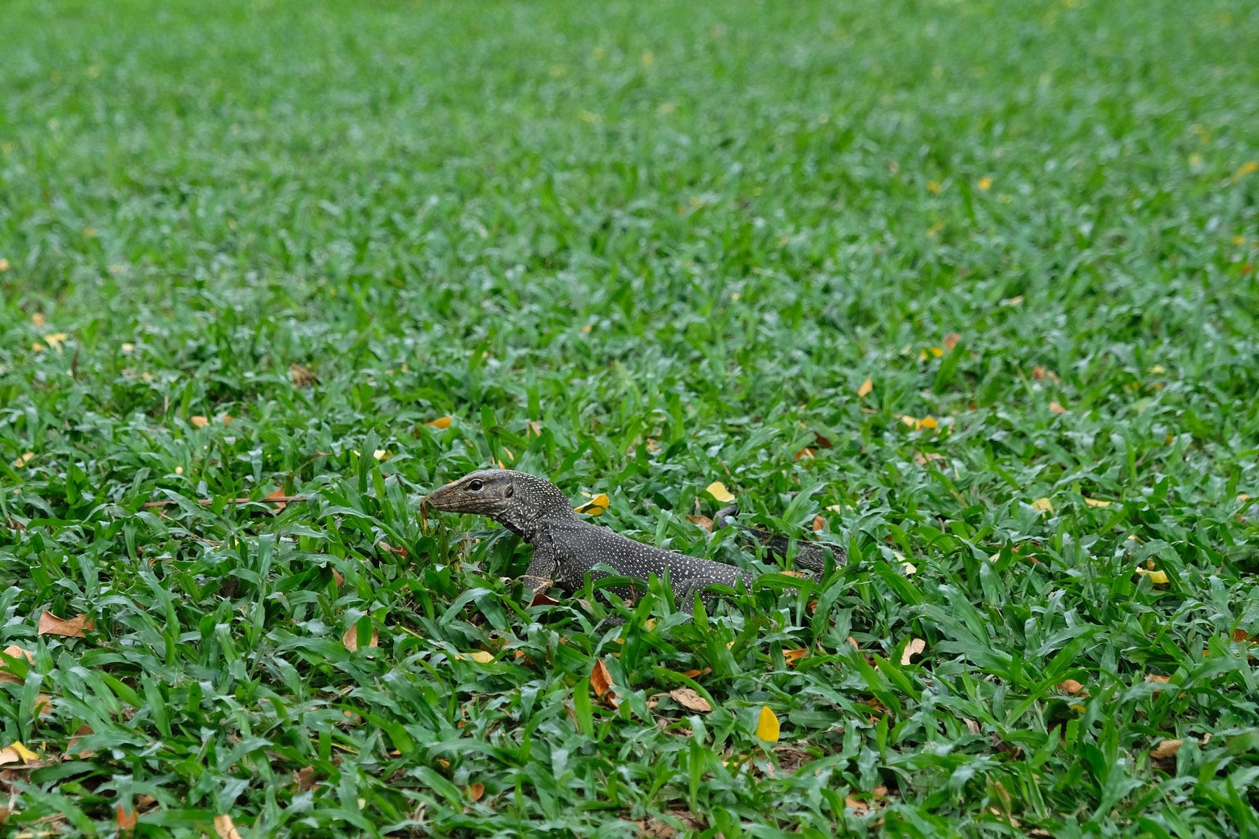 Ein Leguan im Gras im botanischen Garten in Singapur.