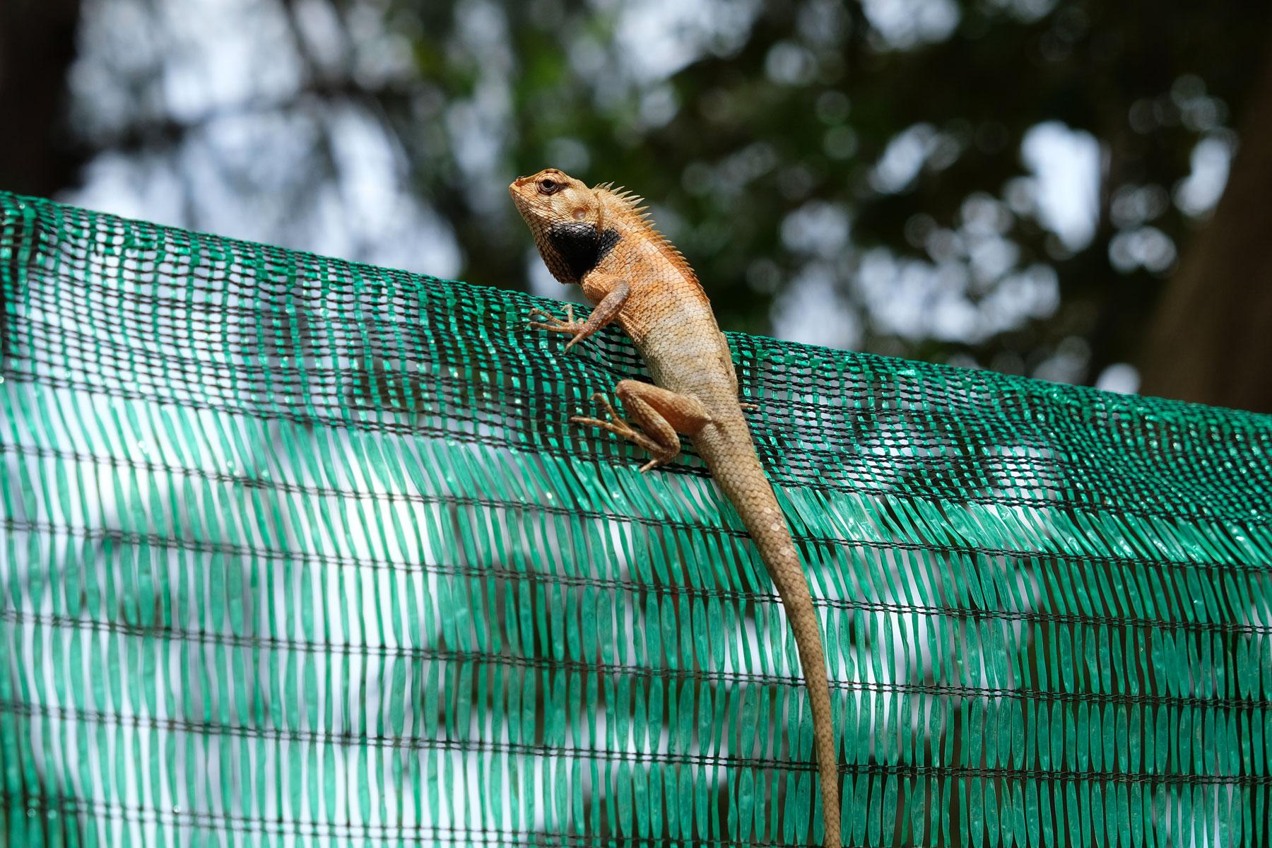 ein Chamäleon sitzt auf einem Zaun