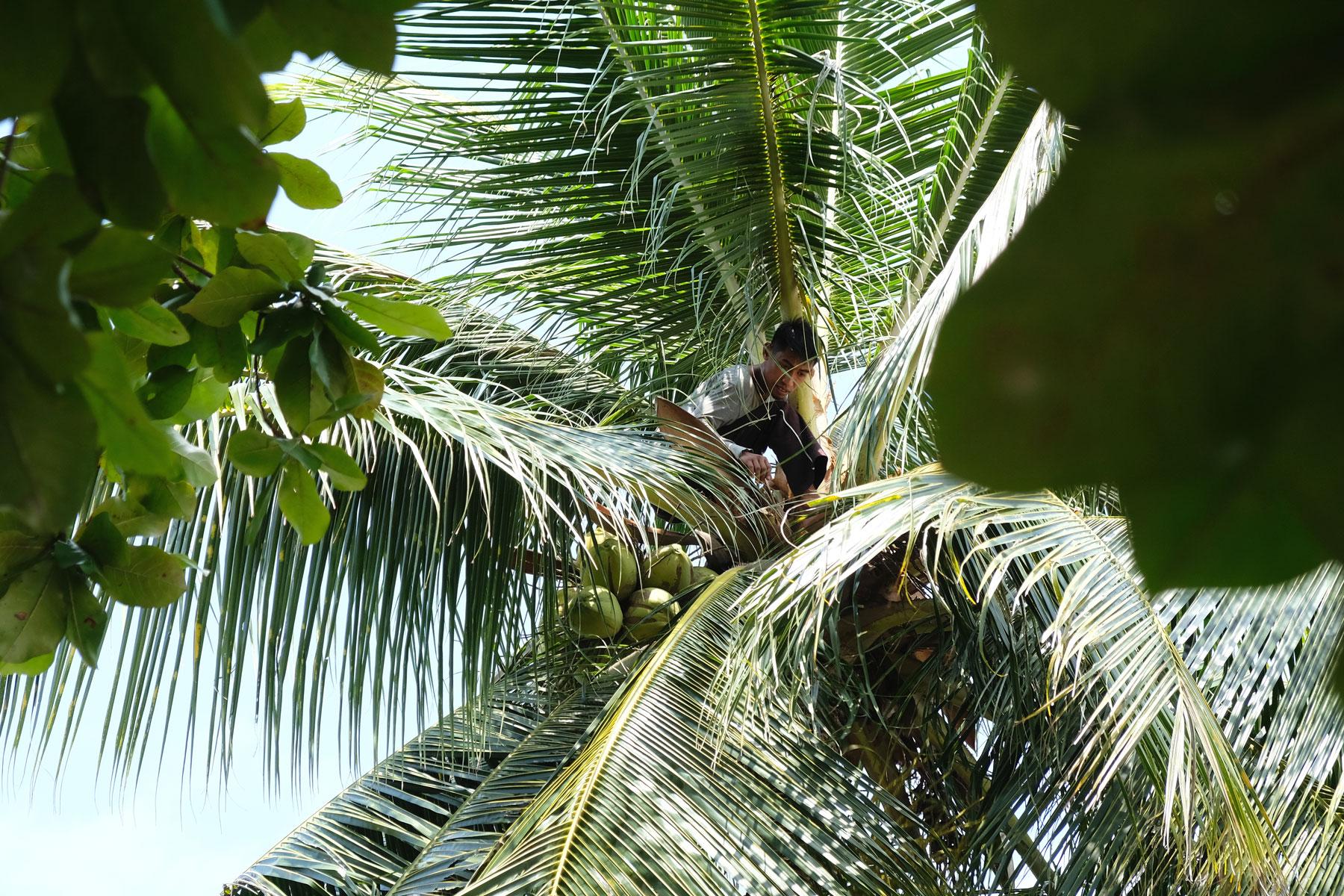 Ein Mann sitzt hoch oben auf einer Palme und erntet Kokosnüsse