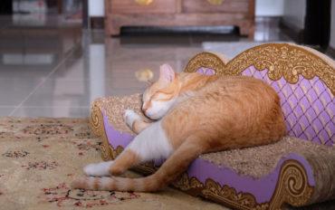 Kater Foxy liegt in Bangkok auf einem Katzensofa und schläft.
