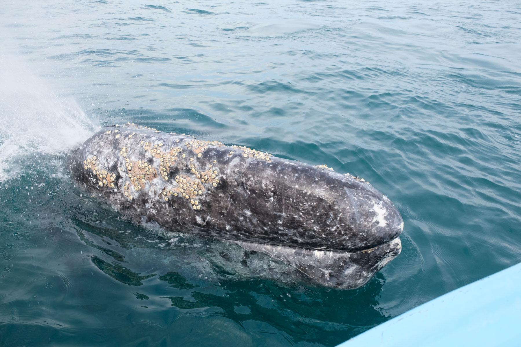 Der Kopf eines Grauwals kommt nur Zentimeter von unserem Boot entfernt aus dem Wasser heraus.