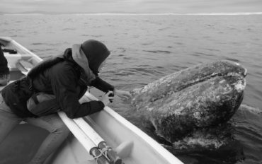Ein Grauwal taucht neben dem Boot, in dem Leo sitzt, aus dem Wasseraus dem