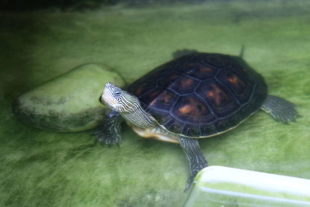 Eine Schildkröte schaut neugierig aus dem Wasser.