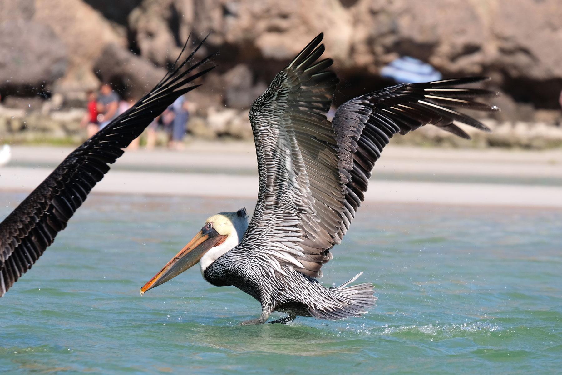 Ein Pelikan landet im Wasser vor dem Balandra Beach in La Paz, Baja California, Mexiko.
