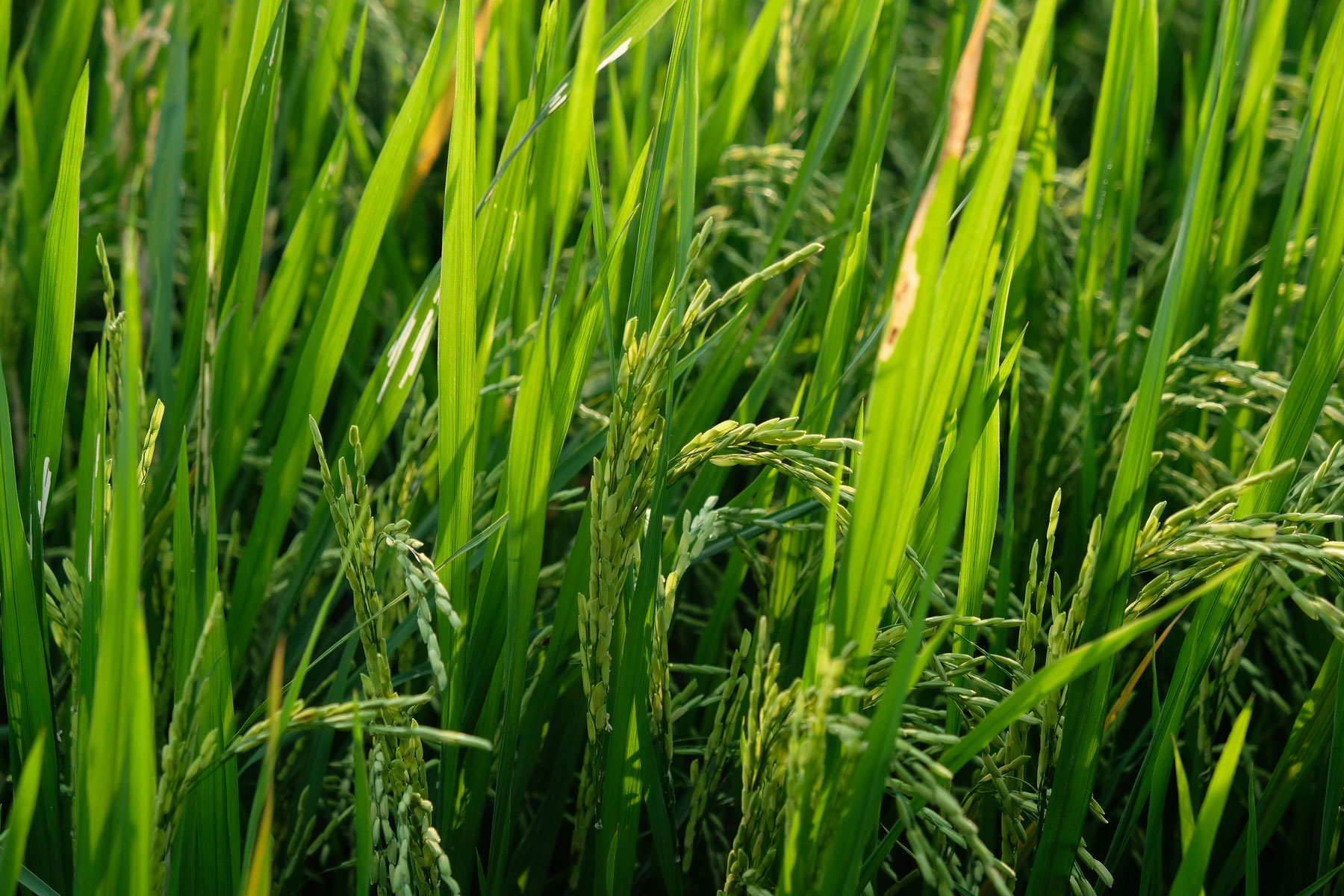 Reis aus der Nähe betrachtet, man sieht die kleinen Reiskörner.