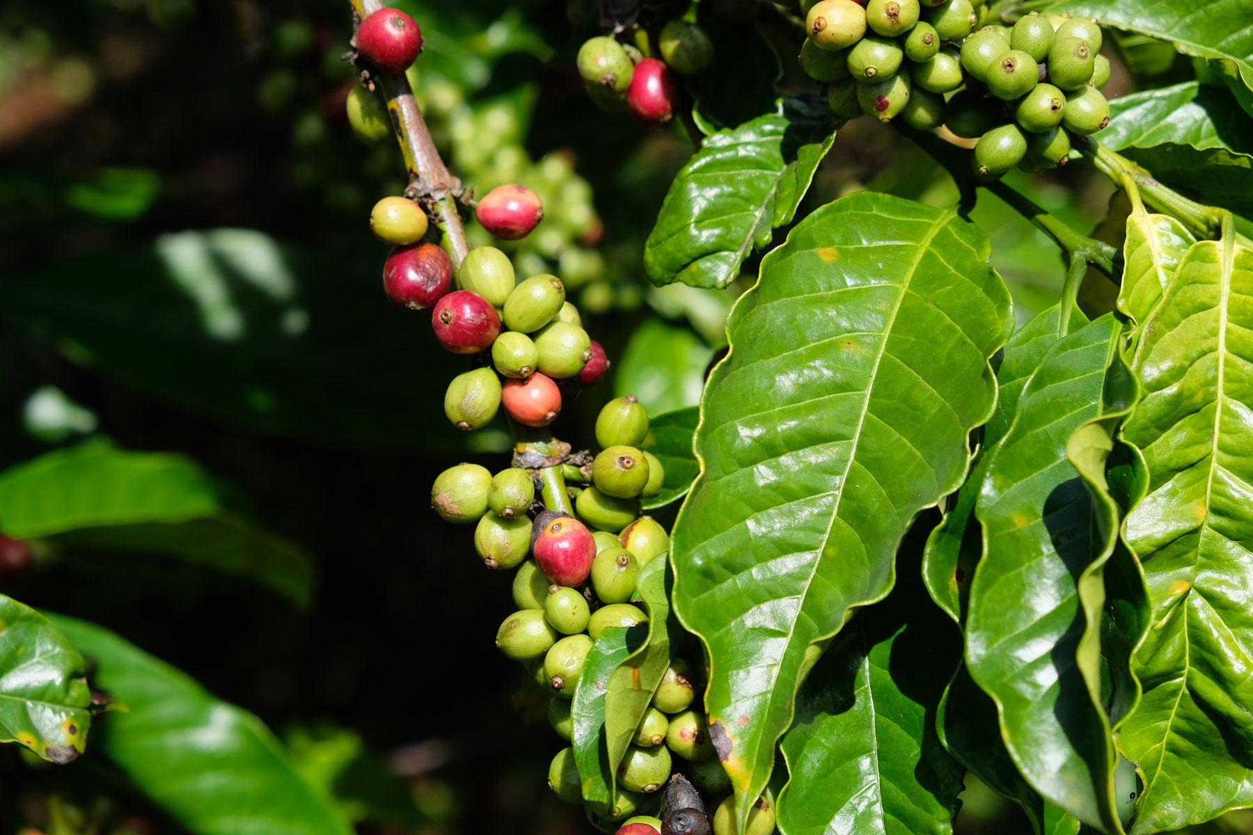 Kaffeebohnen hängen am Strauch.