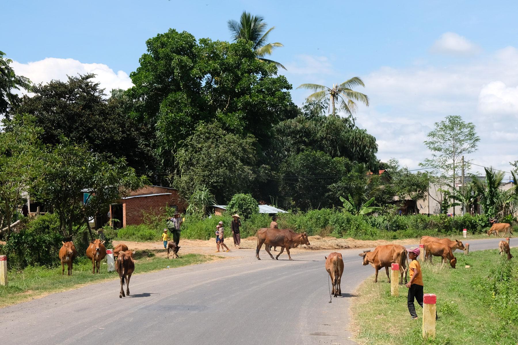 Kühe laufen über eine Straße im ländlichen Vietnam.