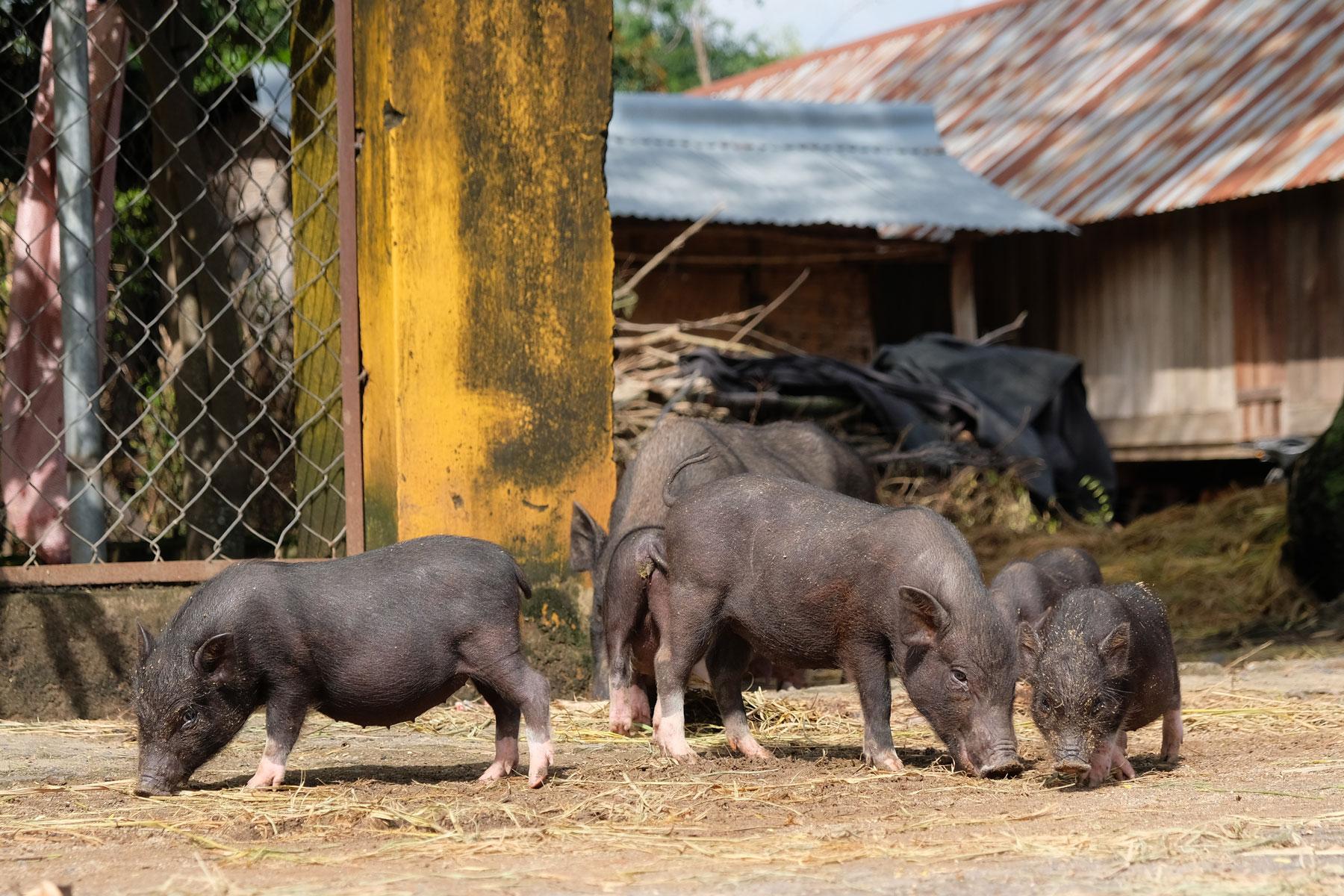 Kleine Hängebauchschweine in Vietnam.