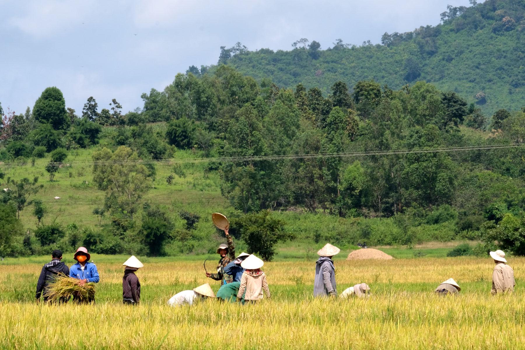 Eine Gruppe Menschen steht im Feld und erntet Reis, ein Mann winkt uns zu.