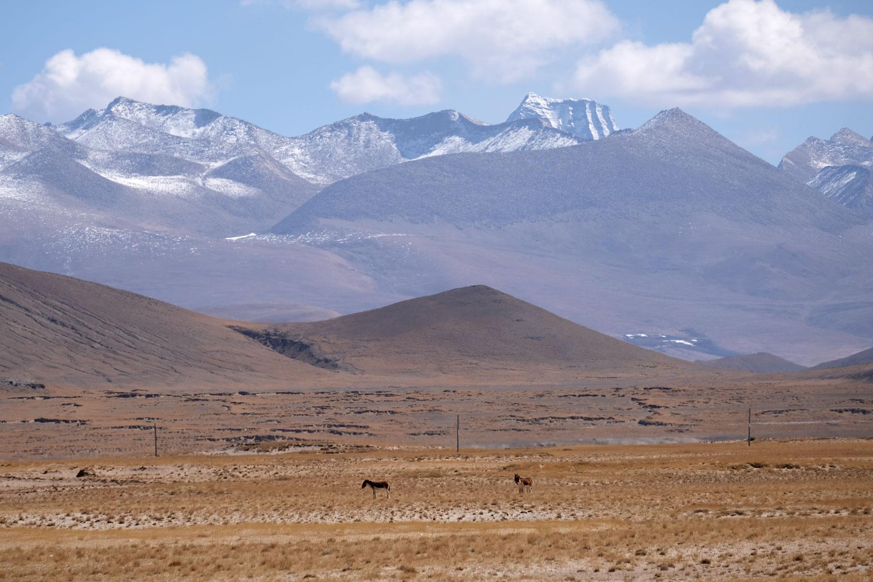 Zwei Tibet-Wildesel grasen vor den Bergen des tibetischen Plateaus.
