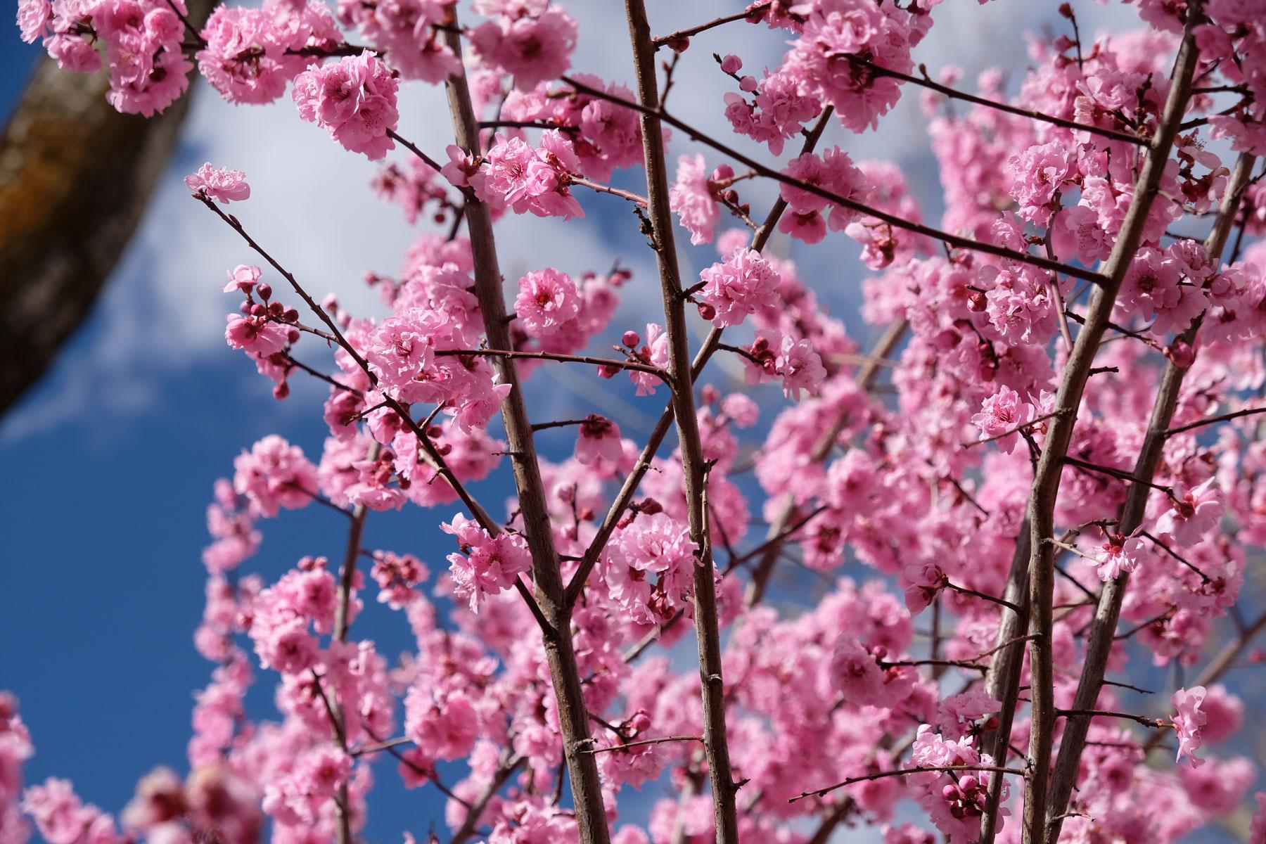 Kirschbäume blühen in Lhasa in Tibet.
