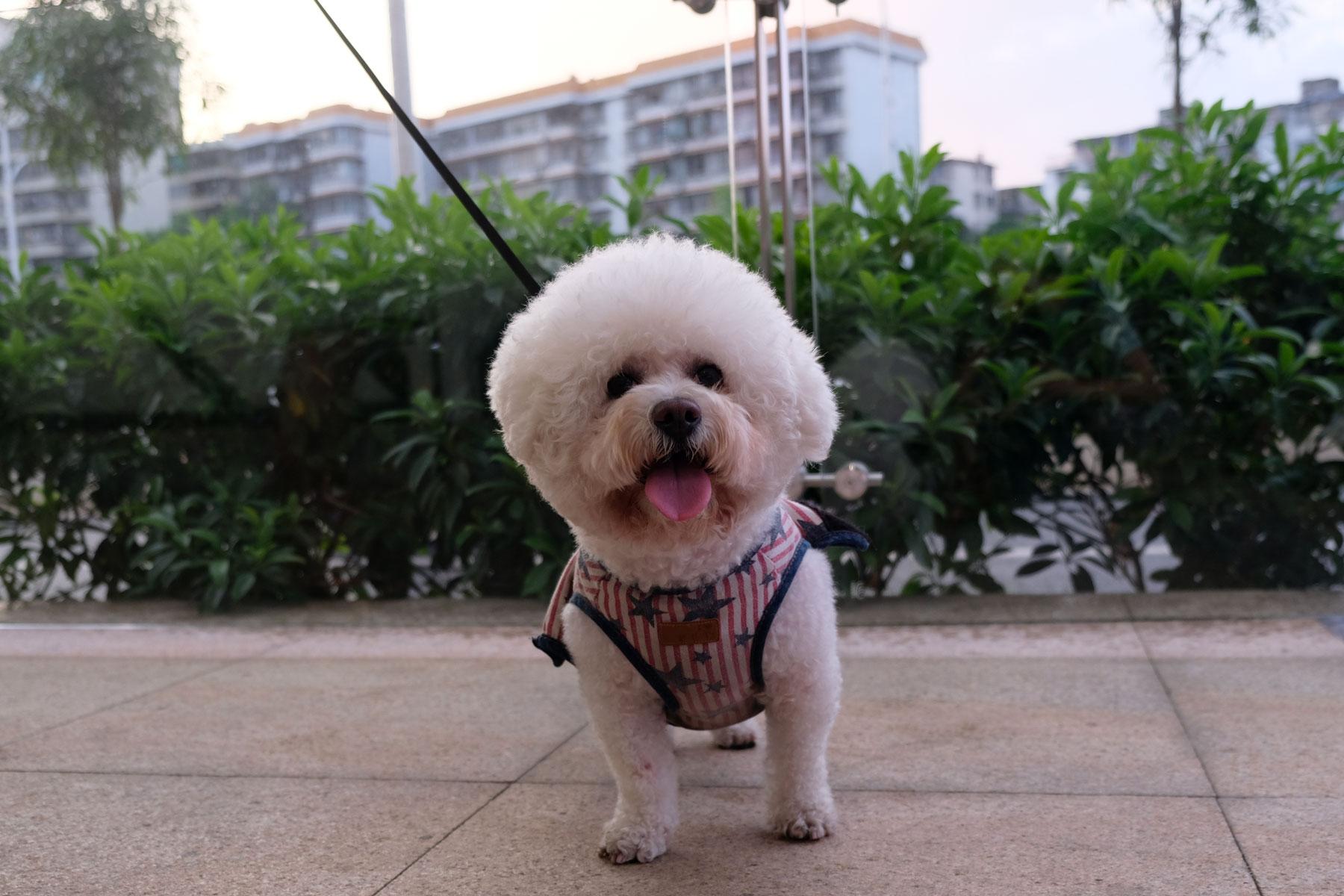 Ein weißer kleiner Hund mitten in Nanning in China.