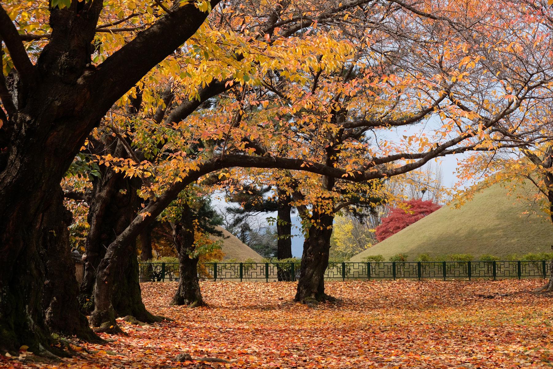 Herbstliche Bäume stehen im UNESCO Welterbe Daerungwon in Südkorea.