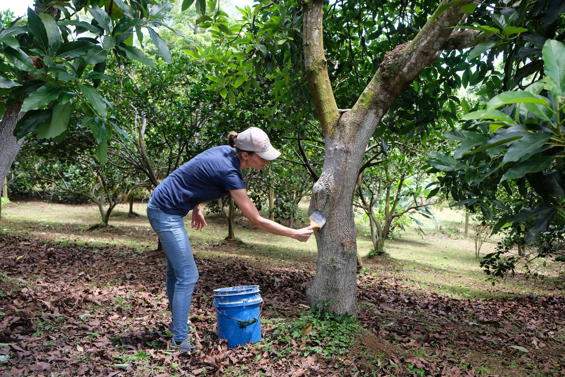 Leo bestreicht als Freiwillige einen Baum mit Kalkfarbe.