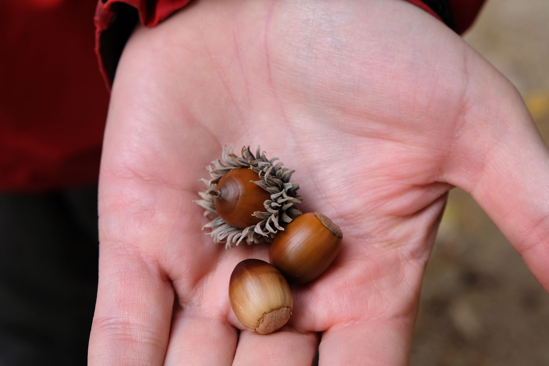 Drei Haselnüsse liegen auf Sebastians Handfläche.