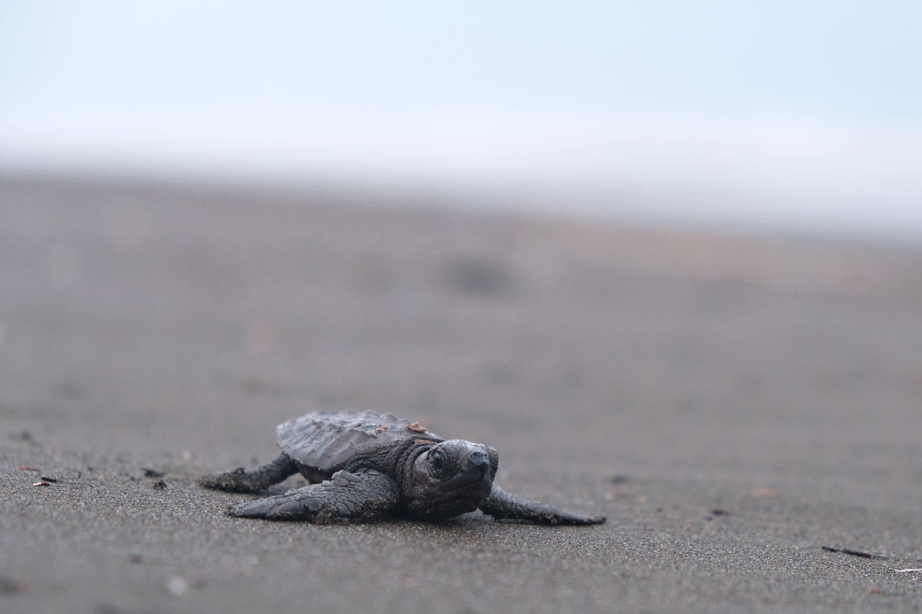"""Eine im Laufe des Tages geschlüpfte kleine """"Eine pazifische Bastardschildkröte am Strand von Costa Rica.röte"""