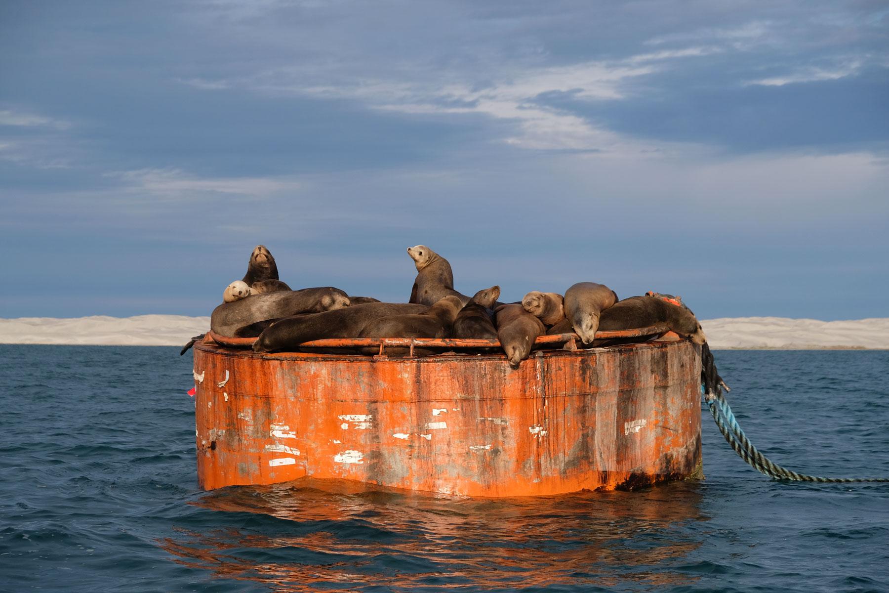 Robben sonnen sich auf einer Plattform in der Lagune von Guerrero Negro in Mexiko.