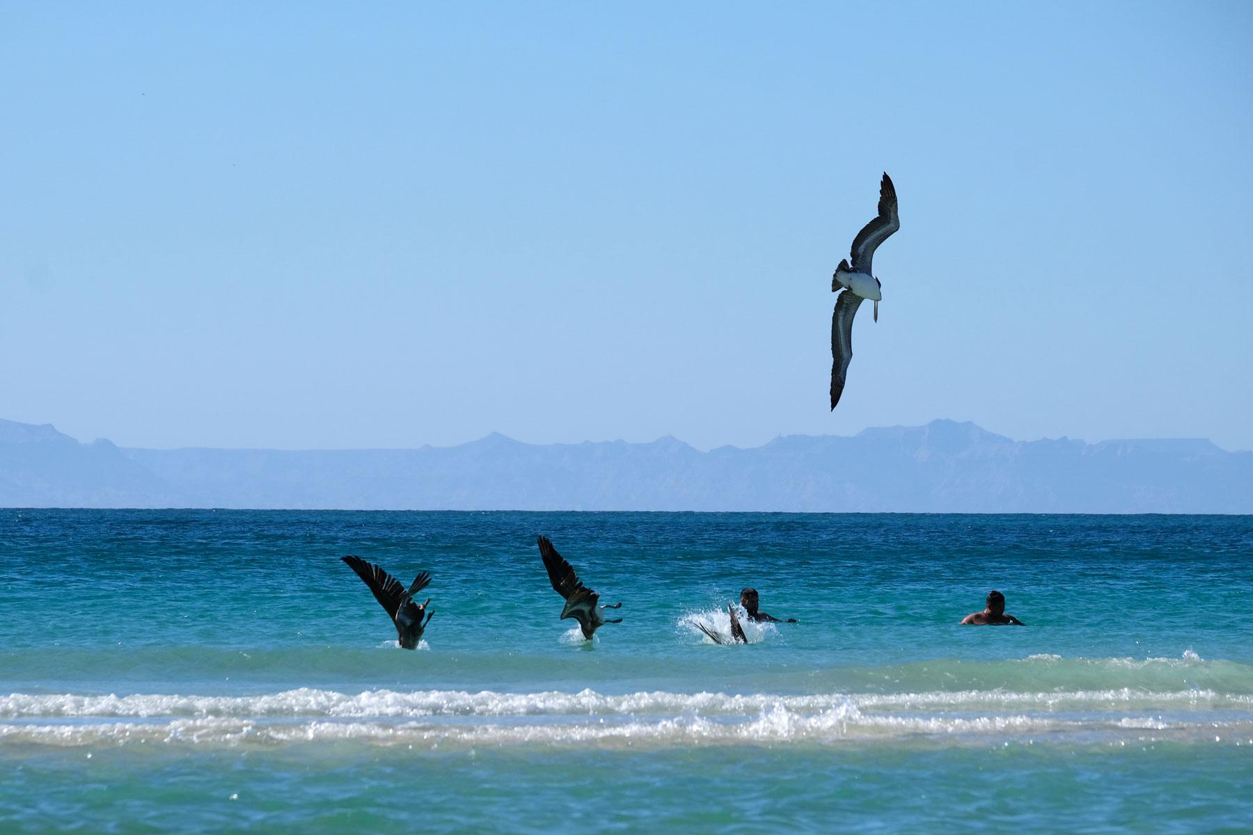 Pelikane jagen neben Schwimmern im Meer.